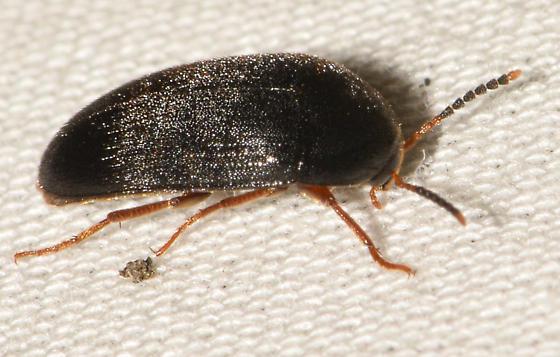 beetle080518a - Eustrophopsis bicolor