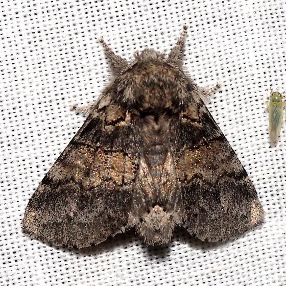 Common Gluphisia - Hodges#7931 - Gluphisia septentrionis