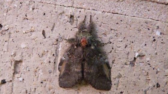 fuzzy moth - Peridea angulosa
