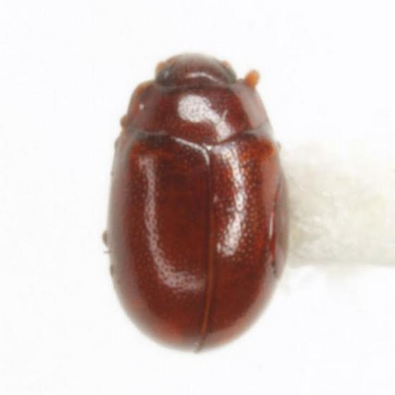 Botrodus estriatus Casey - Murmidius ovalis