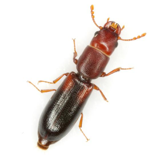 Corticotomus parallelus (Melsheimer) - Corticotomus parallelus
