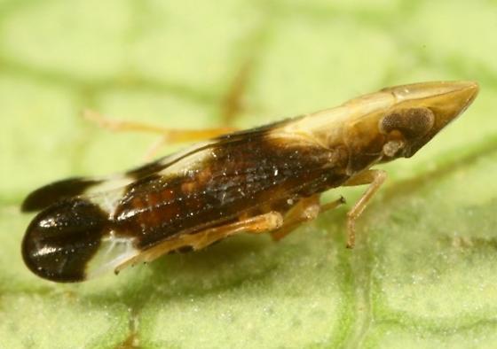 Planthopper - Neomegamelanus lautus - male
