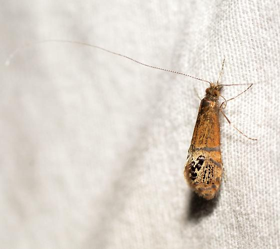 Riding's Fairy Moth - Adela ridingsella