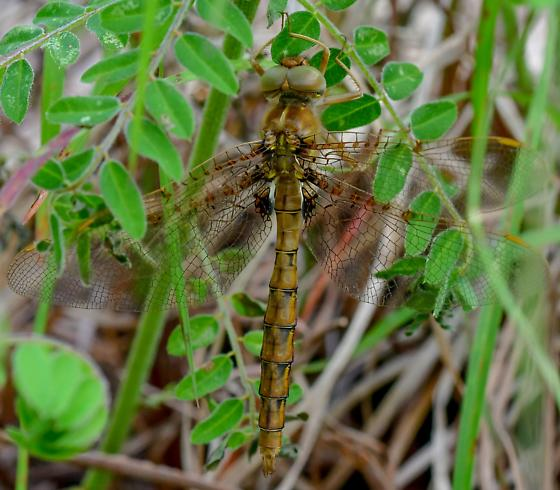 unknown dragonfly - Neurocordulia molesta