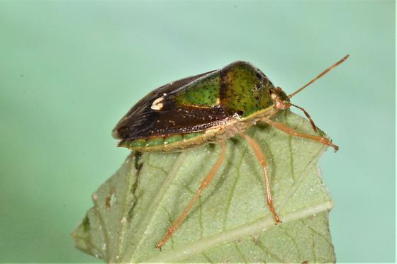 Stink bug on Morning Glory - Ascra bifida