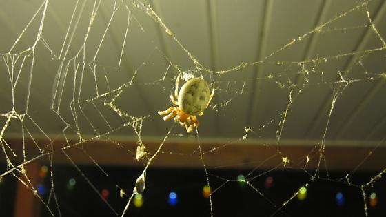 Clown Face Spider/What is it's real name - Larinioides cornutus