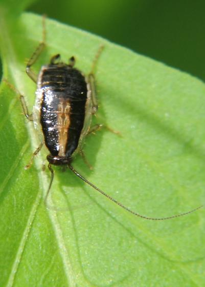 Cockroach Nymph - Blattella asahinai