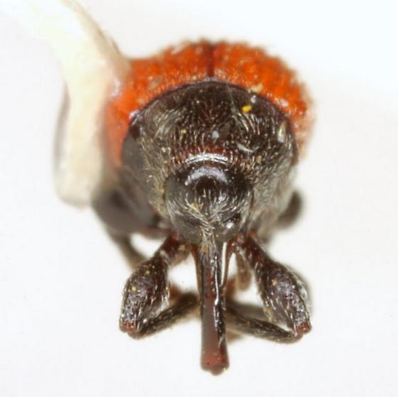 Zeugonyx sabinae Notman - Zeugonyx sabinae