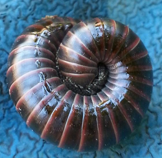 Centipede/millipede - Tylobolus