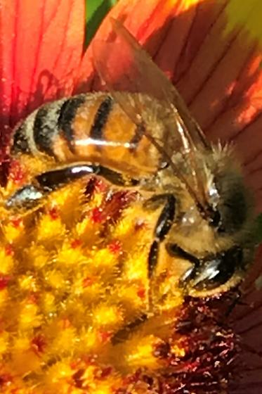 What type of honey bee is this? - Apis mellifera