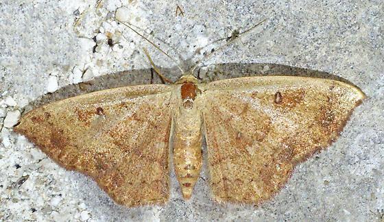 Cyclophora nanaria - Semaeopus