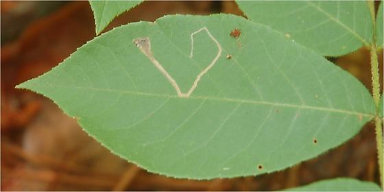 St. Andrews leaf miner on Carya tomentosa SA52 Phytomyza maybe 2015 1 - Stigmella caryaefoliella