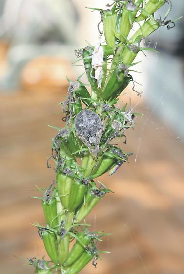 Barn spider on tall bellflower