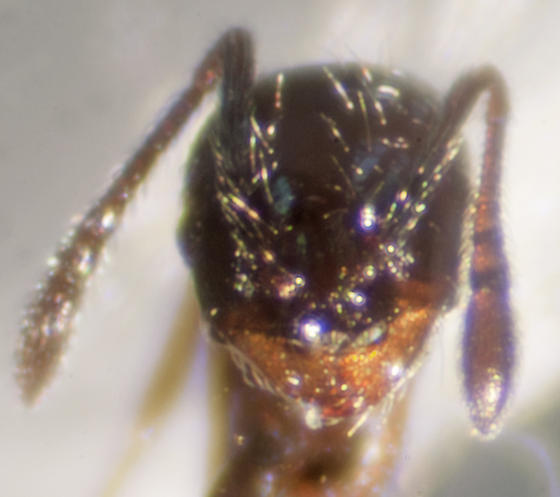 Unknown Ant - Pheidole metallescens - female