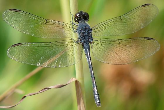 Dark dragonfly - Libellula incesta