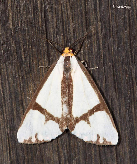 Haploa moth - Haploa contigua