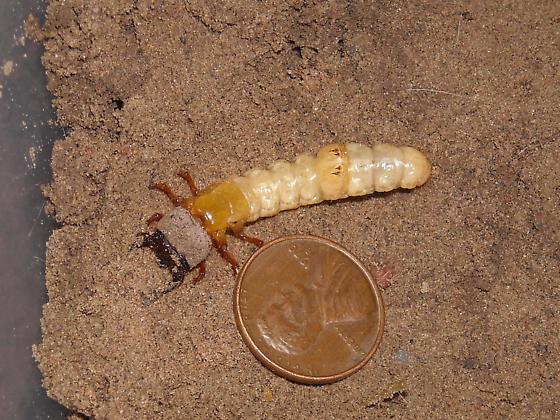 Amblycheila cylindriformis, third instar - Amblycheila cylindriformis