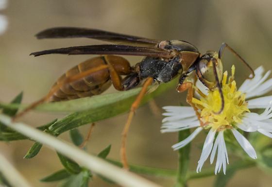 Wasp? - Polistes rubiginosus - male
