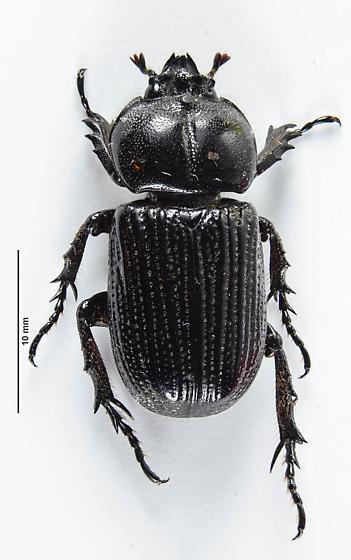 Rhinoceros beetle - Phileurus valgus