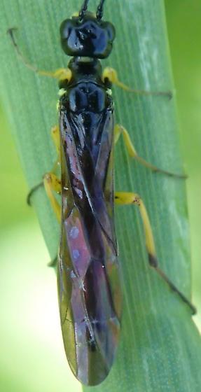 Sawfly - Cephus cinctus - female