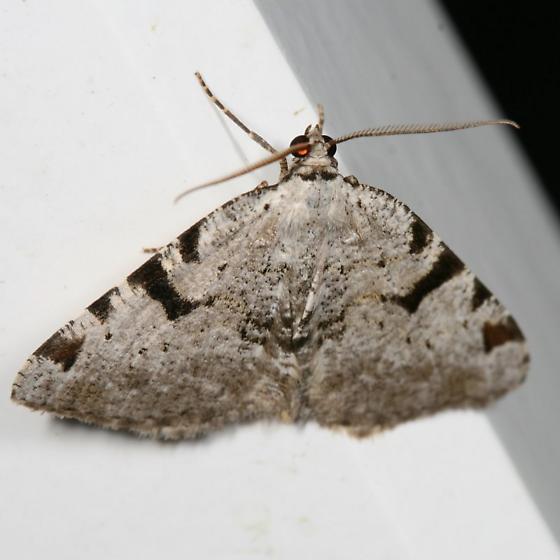 moth - Macaria subcessaria