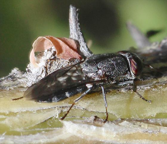 Fly on Ocotillo - Dieuryneura stigma - female