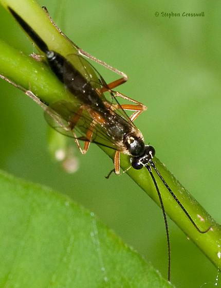 Wasp from Smoke Hole - female