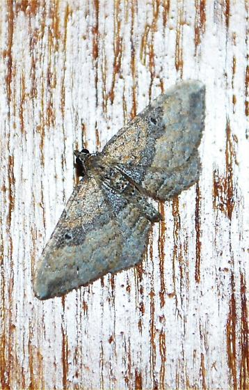 yet another moth - Orthonama obstipata