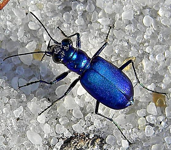 Cicindela scutellaris unicolor - Cicindela scutellaris