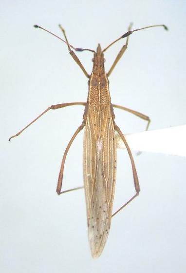 Berytinus minor