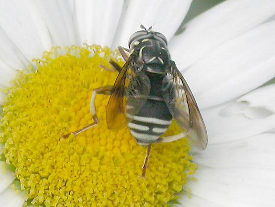 Spilomyia fusca 3/3 - Spilomyia fusca