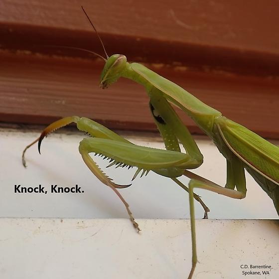 Mantidae: Mantis religiosa - Mantis religiosa - female