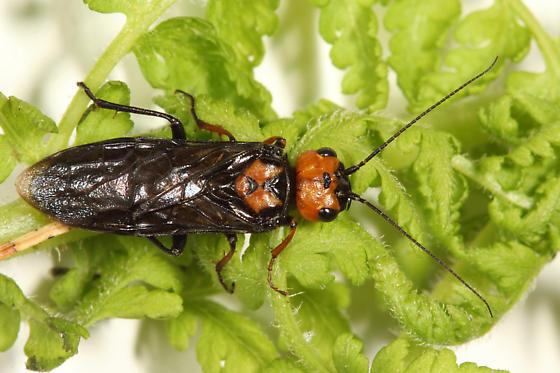 Cephalcia fulviceps