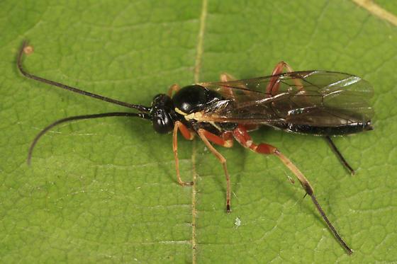 Ichneumon - Syrphoctonus - female