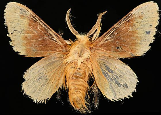 Moth, dorsal - Megalopyge opercularis - male