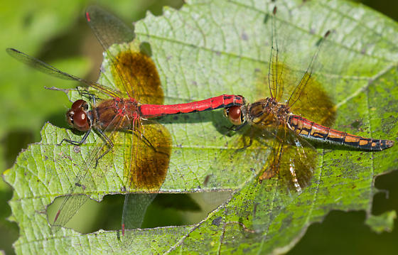 Band-winged meadowhawk - Sympetrum semicinctum - male - female