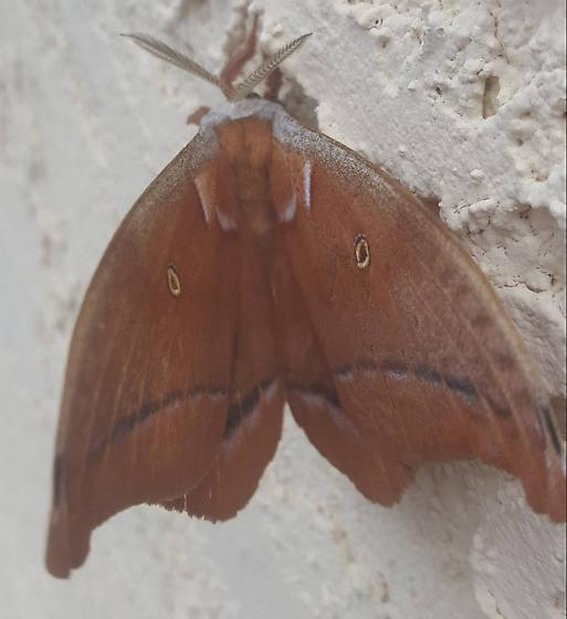 Curious as to what this is called so I can look it up and find out more about it. - Antheraea polyphemus