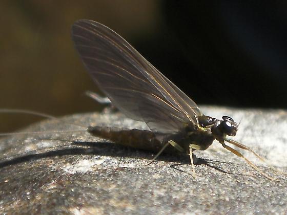 Wahkiakum Mayfly Adult - Ameletus