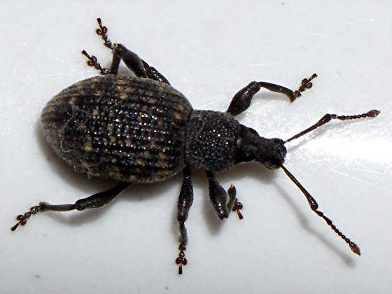 Weevil - Otiorhynchus sulcatus