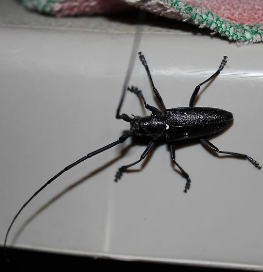 Long Antenna Beetle? - Monochamus scutellatus