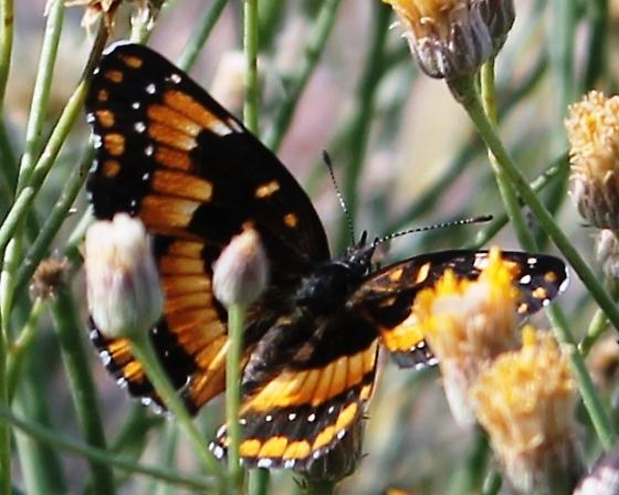 California Patch - Chlosyne californica