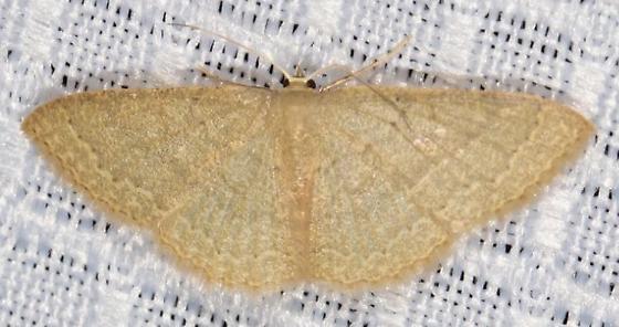 Yellow (white?) moth needs ID - Pleuroprucha insulsaria - female