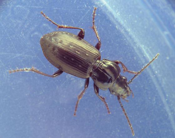 elytral depressions ground beetle - Pterostichus adstrictus