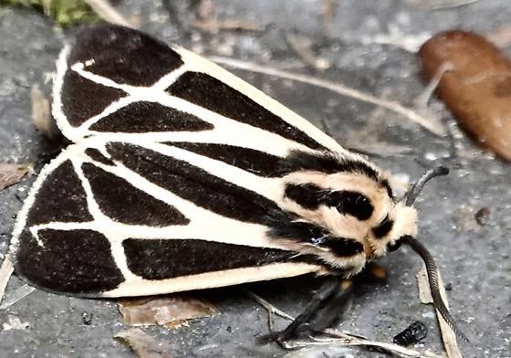 Genus Apantesis - Apantesis
