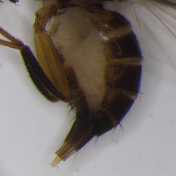 Desert fly - Omomyia