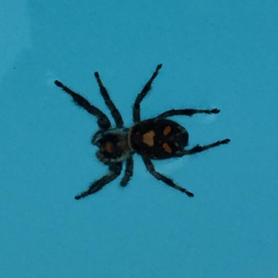 Black Hairy Jack o'Lantern Spider - Phidippus regius
