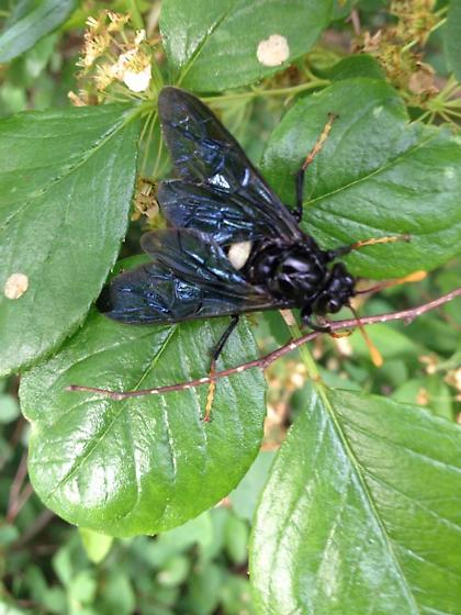 Fly mimic? - Cimbex americanus - male