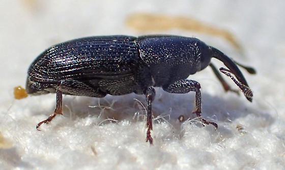 Small dark weevil