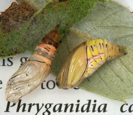 California Oak Moth Pupa - Phryganidia californica - female