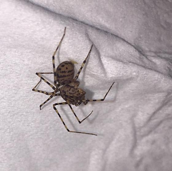 Uninvited Stowaway in Daughter's Bed - Scytodes thoracica